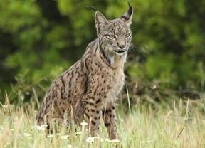Aparece muerto uno de los linces del programa de reintroducción de la especie en Castilla-La Mancha