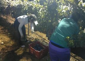 Un 20% menos de cosecha de uva en La Mancha aunque