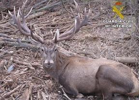 El ciervo 'doméstico' que paseaba por Cenizate buscando comida