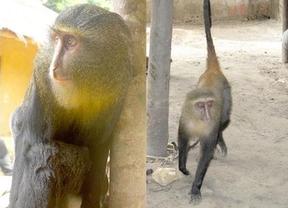 Descubren en África el lesula, una nueva especie de mono