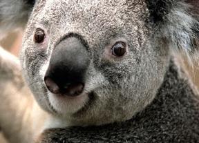 Australia sacrifica en secreto a más de 600 koalas en el sur del país
