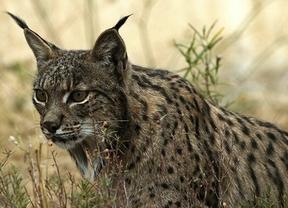 Un estudio de la UCLM cuestiona la efectividad de la reintroducción para conservar especies