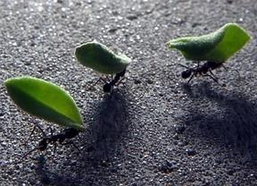 Las hormigas recolectoras imitan el funcionamiento de la transmisión de datos de internet