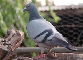 Una paloma mensajera de la II Guerra Mundial pone en jaque al espionaje británico