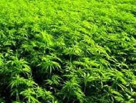 California: rechaza 49% votantes legalizar marihuana; 44 avala