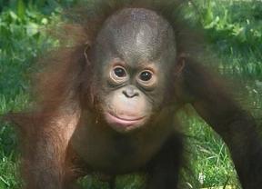 Los simios tienen más variedad genética que los humanos