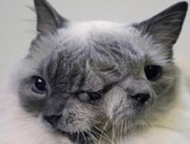 Un gato con dos caras entra en el Libro de récords Guinness