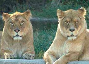 Un hombre salta al foso de los leones en el Zoo de Madrid