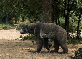Encuentran en Madrid el hueso de pene de oso más antiguo
