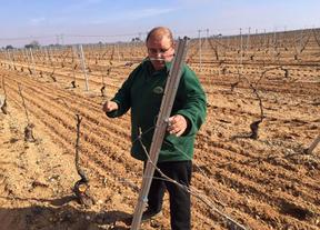 Destrozan la viña 'con nocturnidad' a un agricultor de Pedro Muñoz