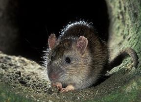 ¡Las ratas dejan sin Internet al Ayuntamiento de Teruel!