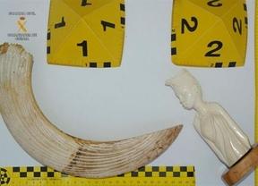 Incautan dos piezas de marfil de animales en extinción en Cuenca