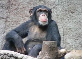 Descubren que los chimpancés tienen sentido de la justicia