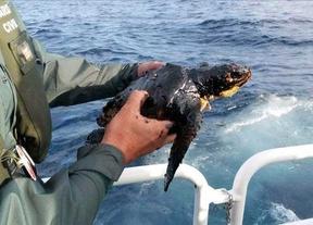 Una tortuga en peligro de extinción, primera víctima del naufragio del barco ruso