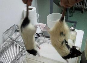 La NASA estudia el envío de ratas a la Estación Espacial Internacional antes de fin de año