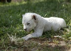 Keny, la leona sudafricana blanca nacida en cautividad en un zoo de Toledo