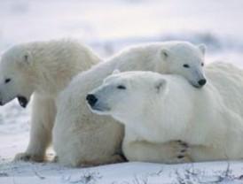 Osos polares en Alaska ahora tienen una zona de hábitat protegido