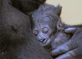 El Parque de Cabárceno da la bienvenida a su nuevo habitante: un bebé gorila