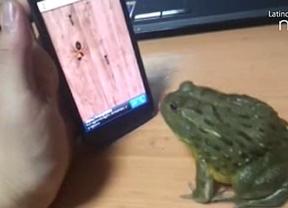 'Cadena de emails': Conozca a la rana que caza hormigas en un 'smartphone'