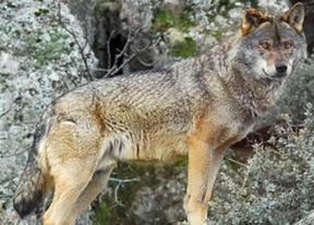 Unas jornadas debatirán sobre el lobo ibérico en Brazatortas (Ciudad Real)