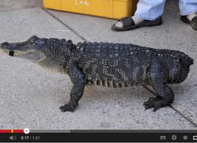 Mr. Stubbs: el cocodrilo que recuperó su movilidad gracias a una prótesis de cola (vídeo)