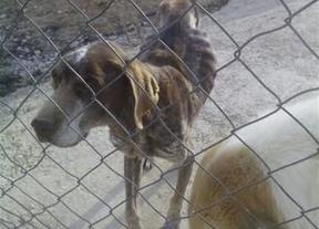 La perra, de raza bretón, se encuentra desnutrida