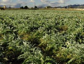 Agricultura y Alimer apuestan por valorizar el cultivo de alcachofa mediante nuevas variedades y transformados