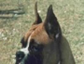 Más de 400 ejemplares de perros de raza bóxer estarán durante el fin de semana en Puerto Lumbreras