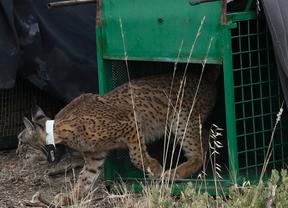La Junta endurece la autorización para el control de depredadores con lazo tras la muerte de un lince
