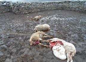 La Diputación de Guadalajara concederá ayudas a las ganaderías que sufran ataques de lobos