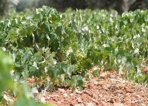 Las últimas tormentas han dañado el viñedo en La Manchuela