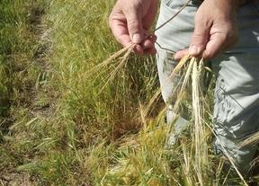 Preocupación por la sequía en Castilla-La Mancha que podría mermar la cosecha de cereal