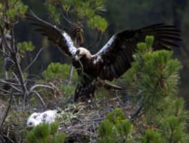 Mueren electrocutadas dos de las 14 águilas imperiales reintroducidas en la Comarca de la Janda