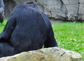 Encuentran muerto también al segundo chimpancé escapado de un zoo de Mallorca