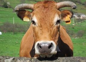 No es una vaca cualquiera: produce leche antialérgica
