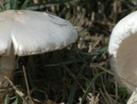 Una muestra de setas recoge en Zamora 230 especies de estos hongos