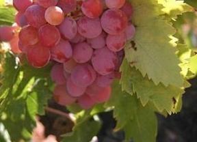 Cooperativas Agroalimentarias piden a Agroseguro que reconozca los daños por heladas