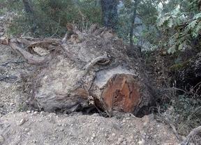 Denuncian la tala de más de cien alcornoques en el Valle de Alcudia