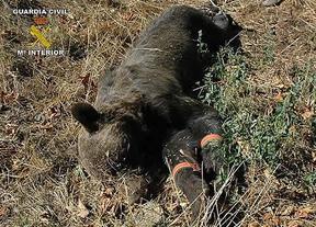 La Guardia Civil detiene a dos presuntos furtivos por la muerte de un oso pardo en Asturias