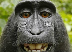 El selfie del mono no tiene derechos de autor, según un juez