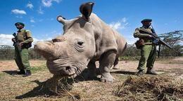 Muere el último ejemplar macho de rinoceronte blanco