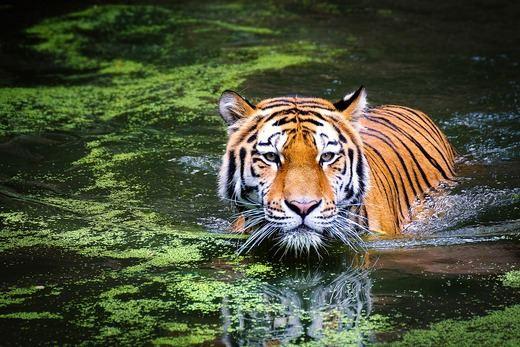 Horóscopo chino 2019 Tigre: ¡cuidado con tu genio!