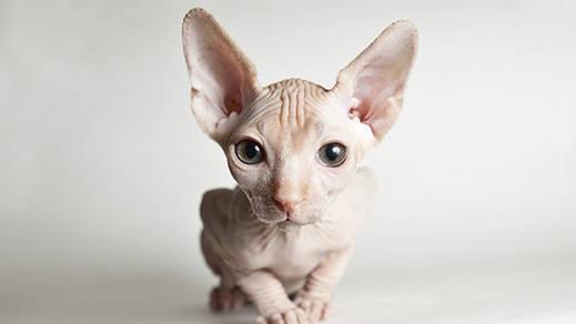 Las razas de gatos más exóticas del mundo