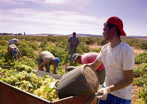 Los productores de Valdepeñas reanudan la vendimia y